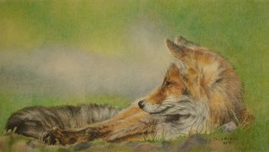Relaxation (Red Fox)