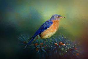 Bluebird in pine 72 kkw8w1