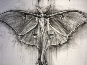 Luna Moth Study