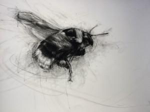 White-tailed Bumblebee (bombus lucorum) in Flight