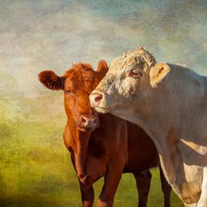 Cattle lb1807 0697 etx qecqfe