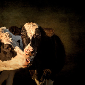 Cows lb1310 3727 etx2 rx92rs
