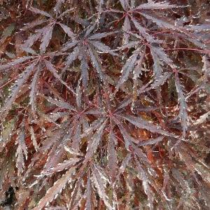 Cut Leaf Maple 2