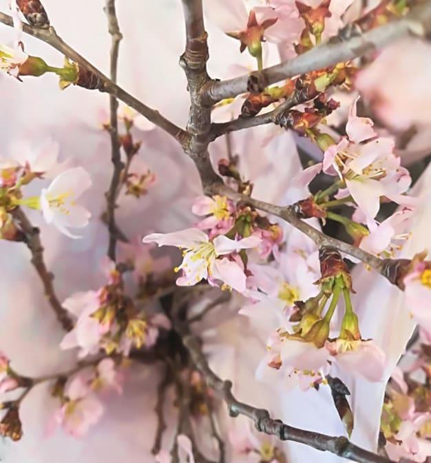 春の桜ピンク色ネイルがやっぱり気になっちゃう♡