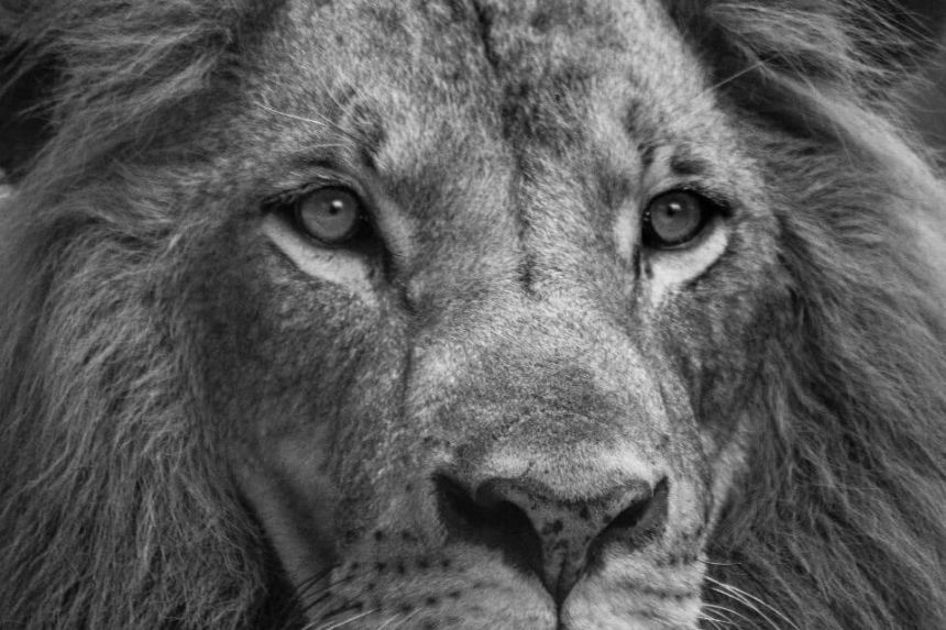 What is Leo Spirit Animal and its Meaning?