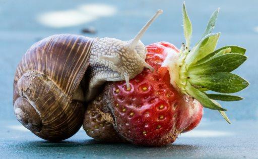 Schnecke auf Erdbeere