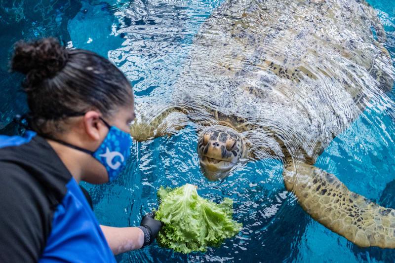 An employee at Georgia Aquarium feeds a sea turtle lettuce.