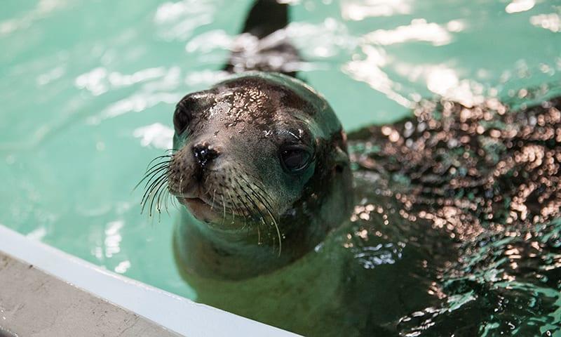 A sea lion looks up above a water tank at Georgia Aquarium.