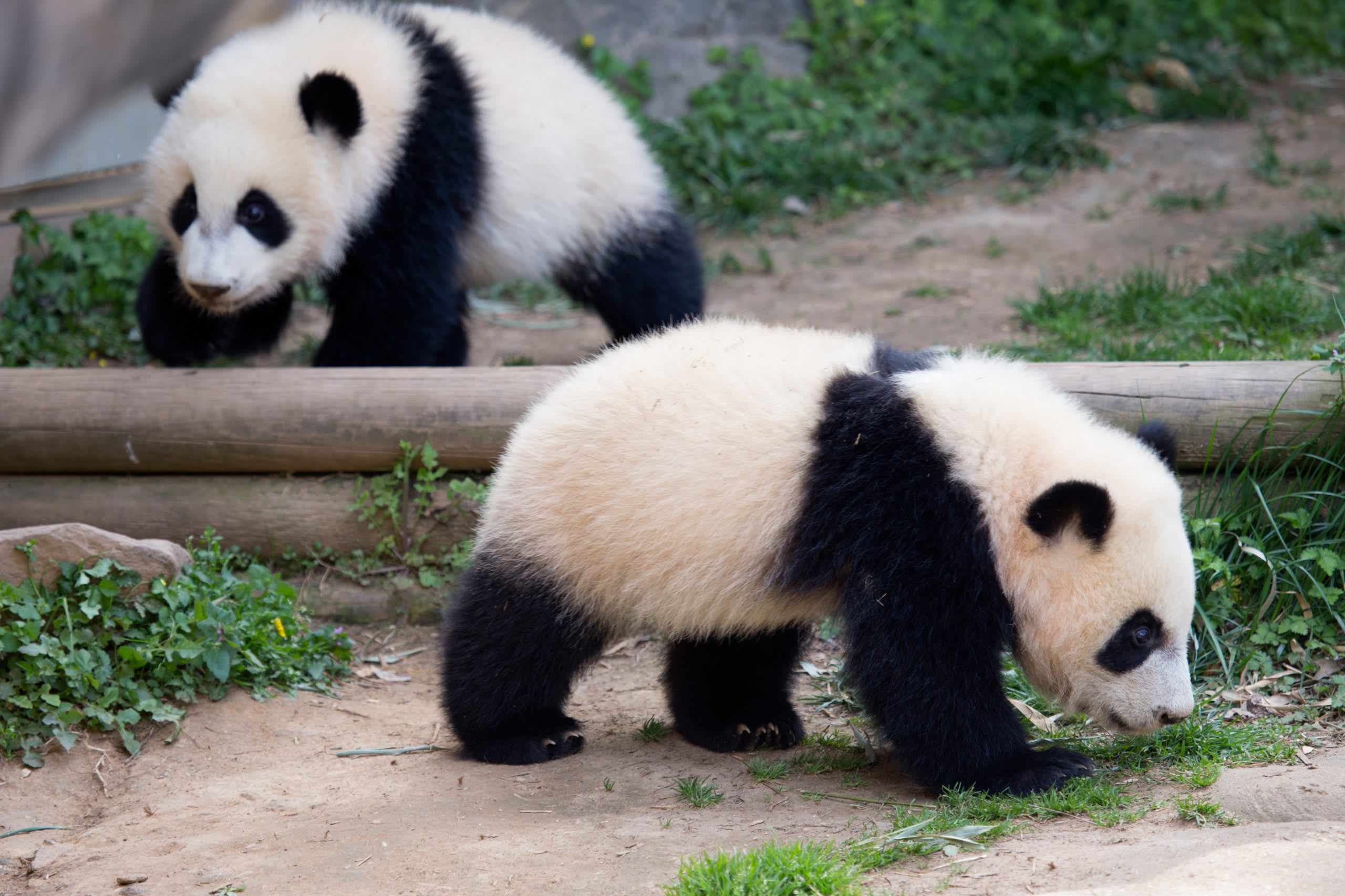 Atlanta+Grant+Park+Twin+Pandas