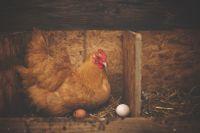 השרת תרנגולות מטילות - מפסיקים את ההרעבה