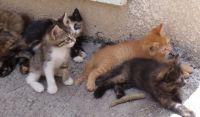 דורשים סירוס עיקור חתולי רחוב עפולה