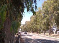 הצילו - רוצים לכרות שדירת אקליפטוסים בת יותר מ-100 שנים בכביש עכו שמרת 8510