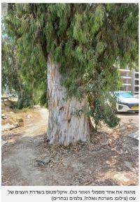 לא לכריתת עצי האקליפטוס היפים