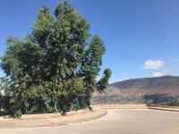 עץ אקליפטוס בריא, מתחנן על חייו, בכמון