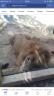 להציל אריה