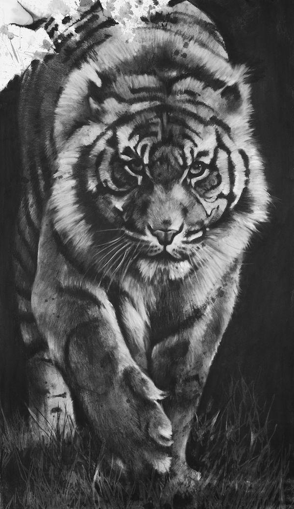 Dessin, fusain, Tigre par Aurélien Raynaud