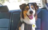 <p>Dog with Sleepypod harness</p>