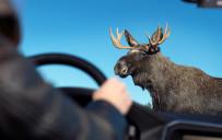 <p>Volvo Large Animal Detection</p>
