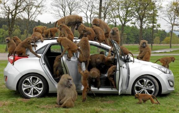 Baboons go ape for Hyundai
