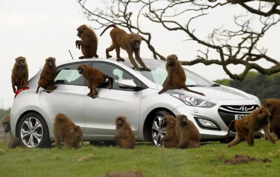 Baboons go ape for Hyundai - 1