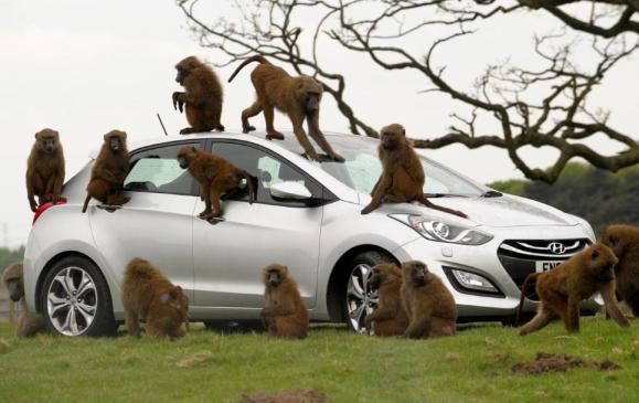 Baboons go ape for Hyundai - 1