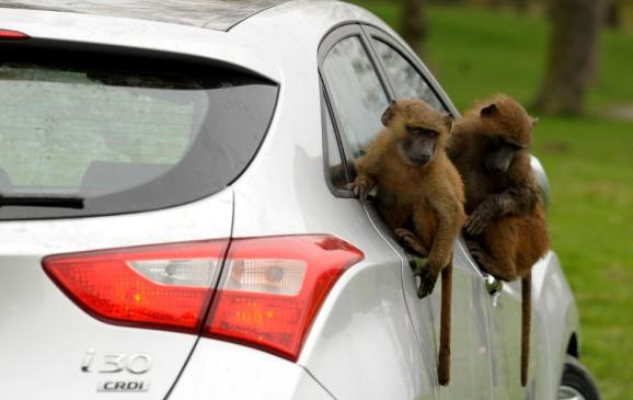 Baboons go ape for Hyundai - 5