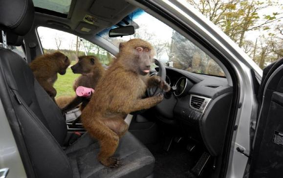 Baboons go ape for Hyundai - 2