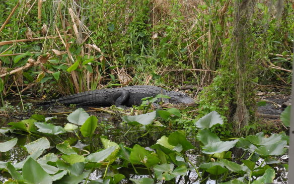 <p>A 3m-long American alligator grudgingly poses for tourists' cameras during a boat tour of the St. Marys River near DeLand, Florida.</p>