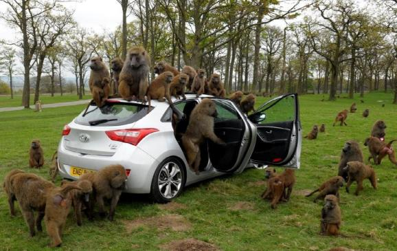 Baboons go ape for Hyundai in UK