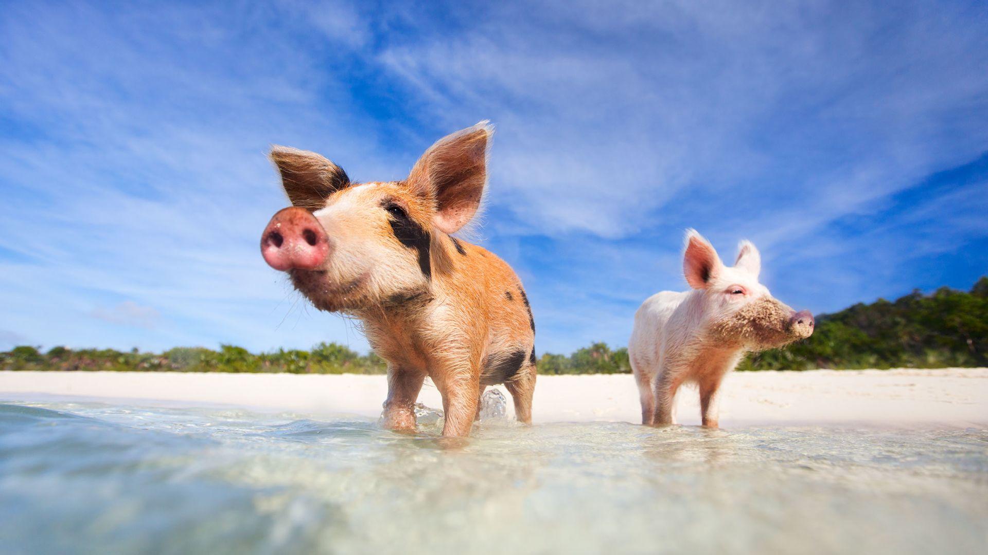 ᐅ Mit Schweinen Baden Auf Den Bahamas Reisemagazin Holidaycheck