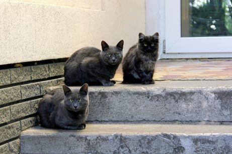 Graue Katzen © Zubakha Olesya/shutterstock