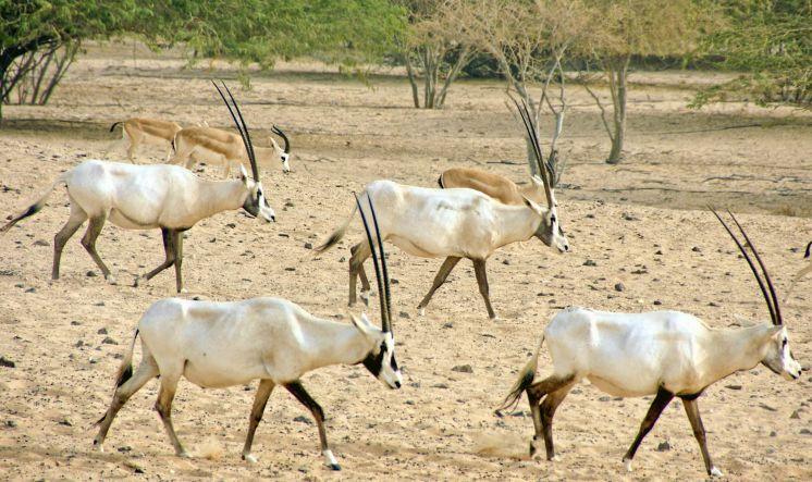 Wandernde Antilopen auf Sir Bani Yas
