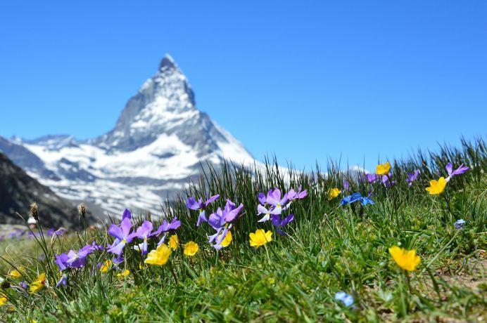 Bergblumen am Matterhorn