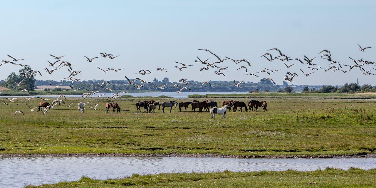 Pferdewiese auf der Insel Poel