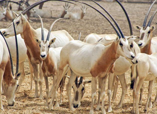 Antilopen auf Sir Bani Yas