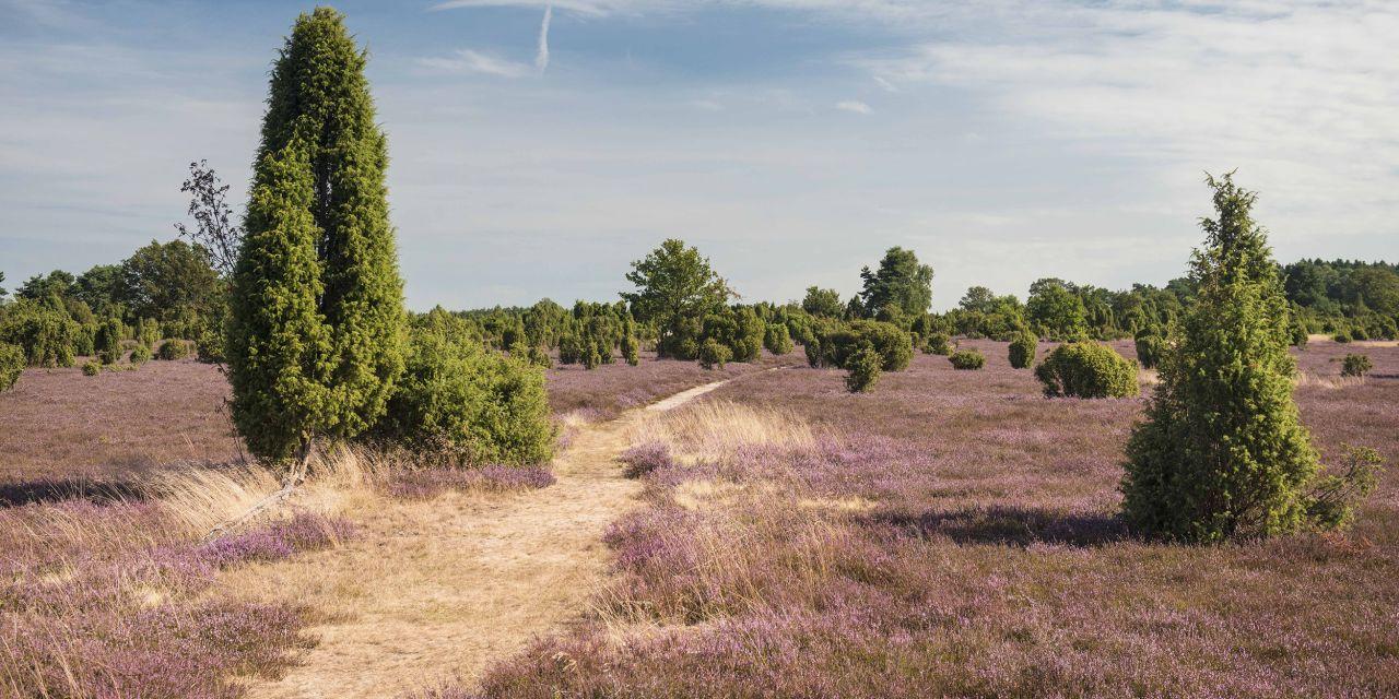 Der Heidschnuckenweg: Wacholderwald bei Schmarbeck im Naturpark Südheide, Lüneburger Heide
