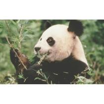 WWF Store - A Giant Panda