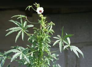 kenaf, tanaman mirip ganja hemp