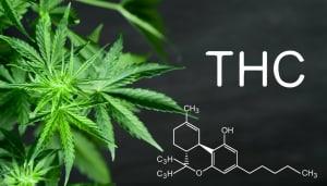 cara kerja THC dalam tubuh manusia