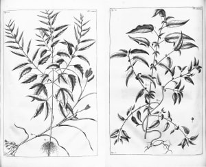 herbarium amboinese mencatat penggunaan ganja