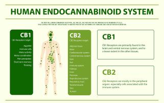 sistem endocannabinoid