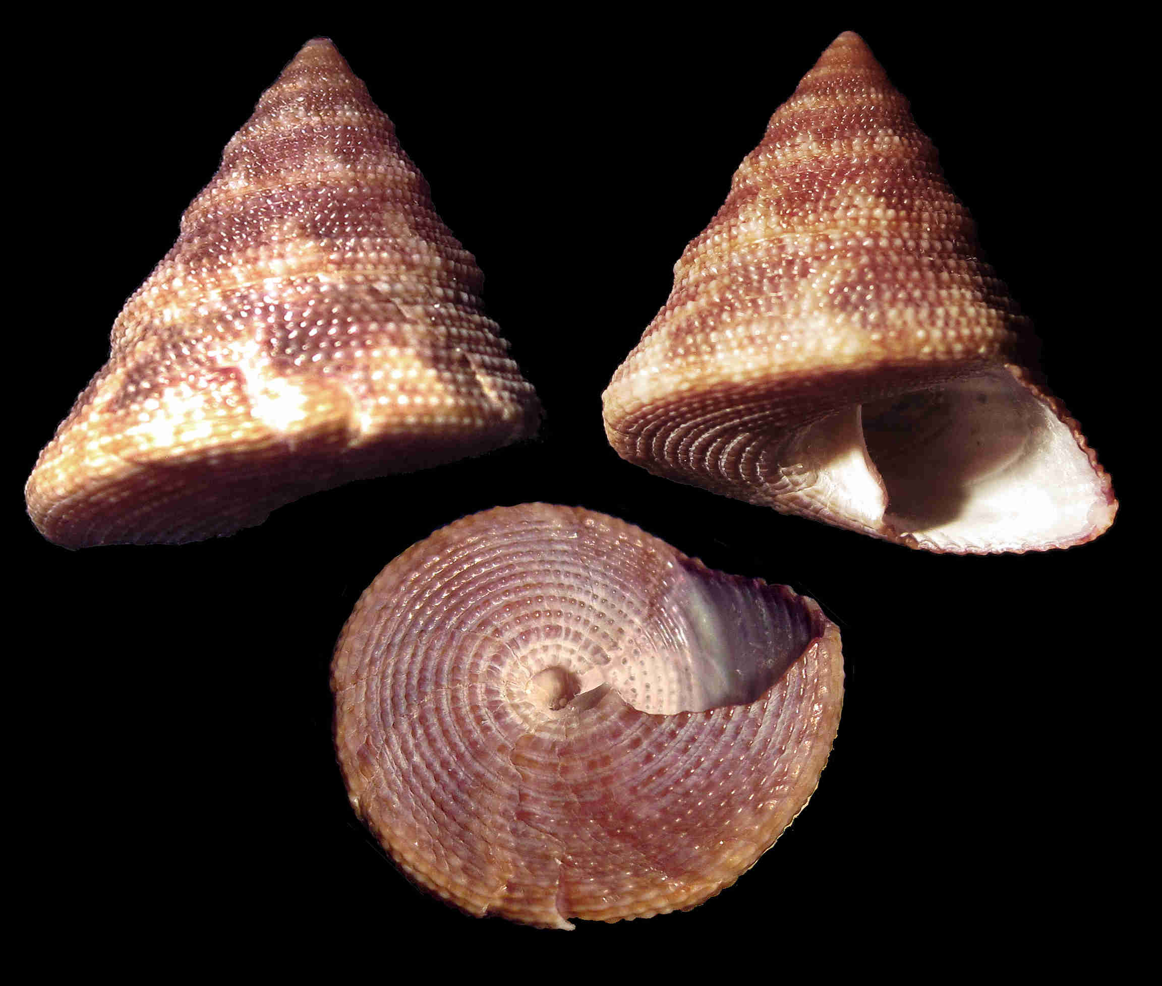 Gulf Stream Top Snail