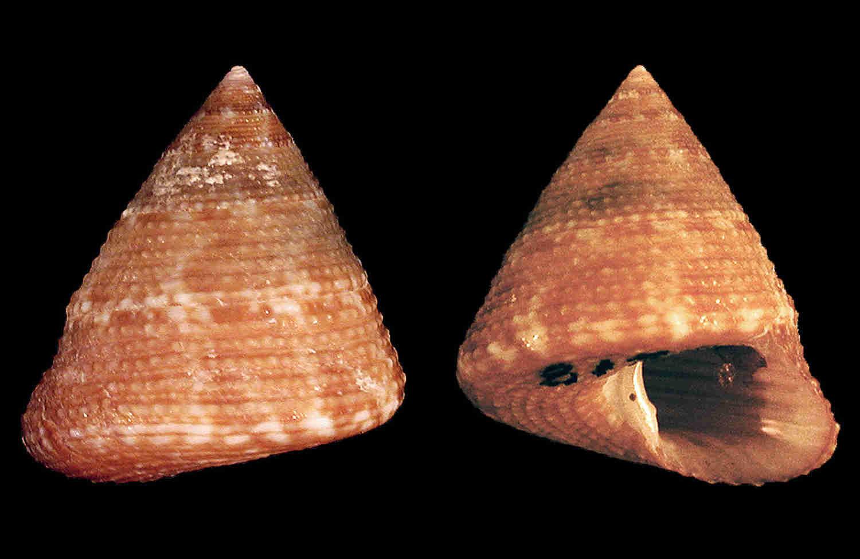 Tampa Bay Top Snail