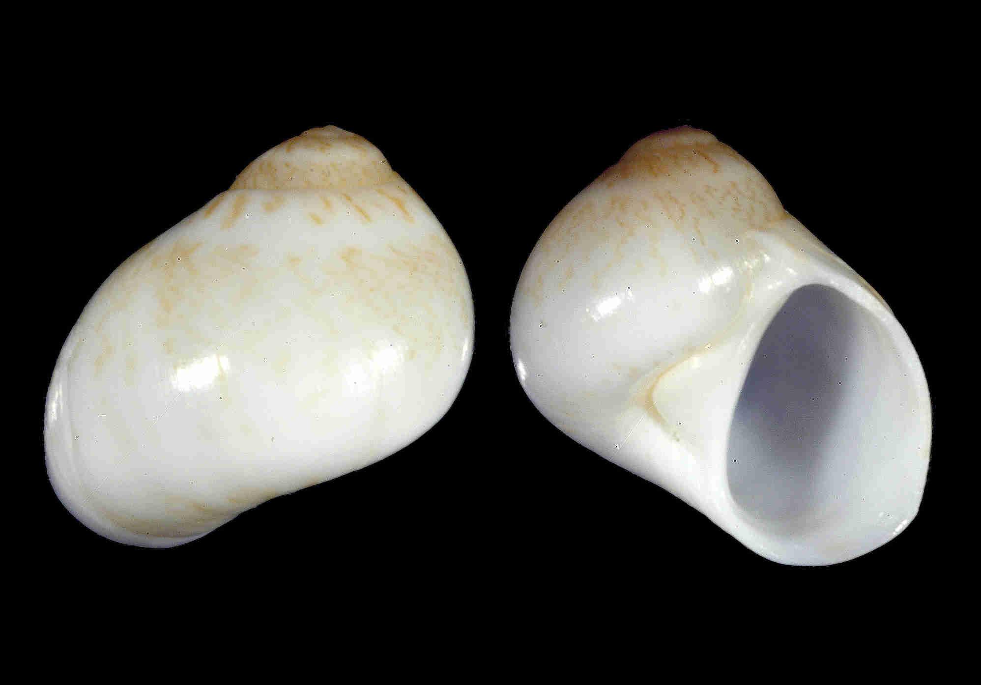 Miniature Moon Snail