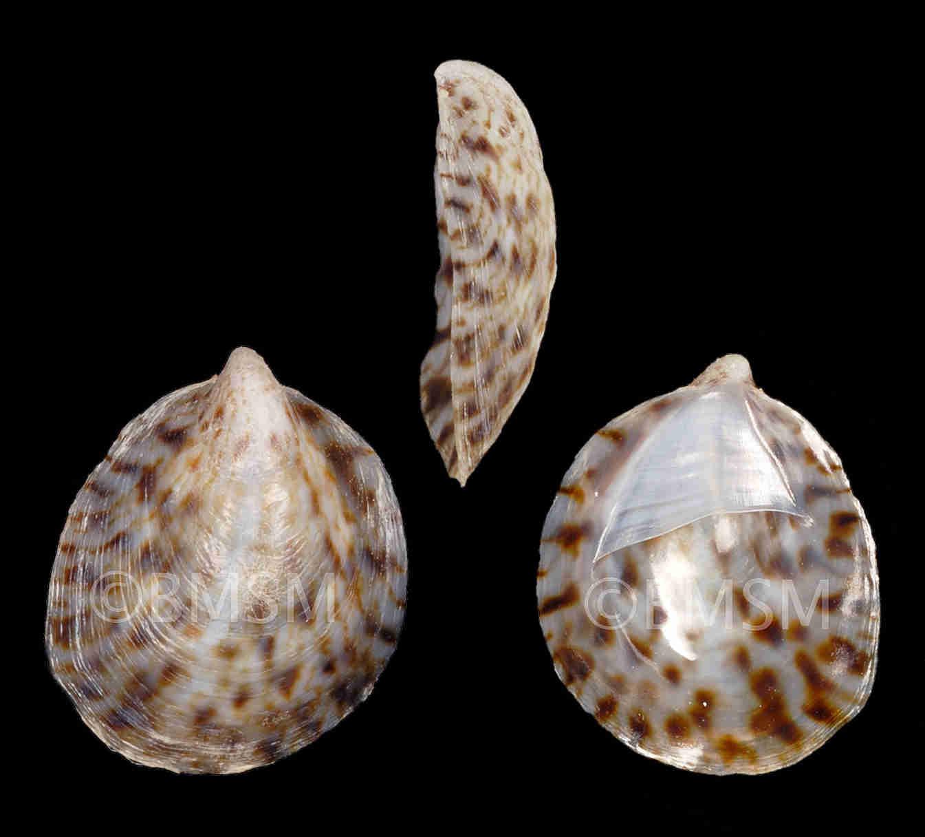 Little Speckled Slipper Snail