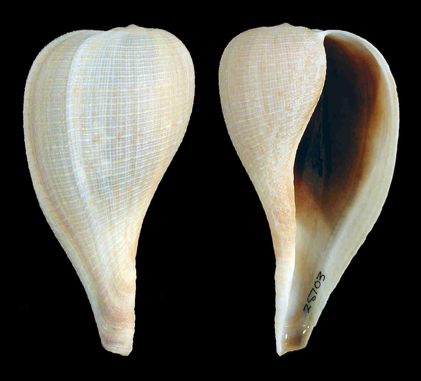 Atlantic Fig Snail