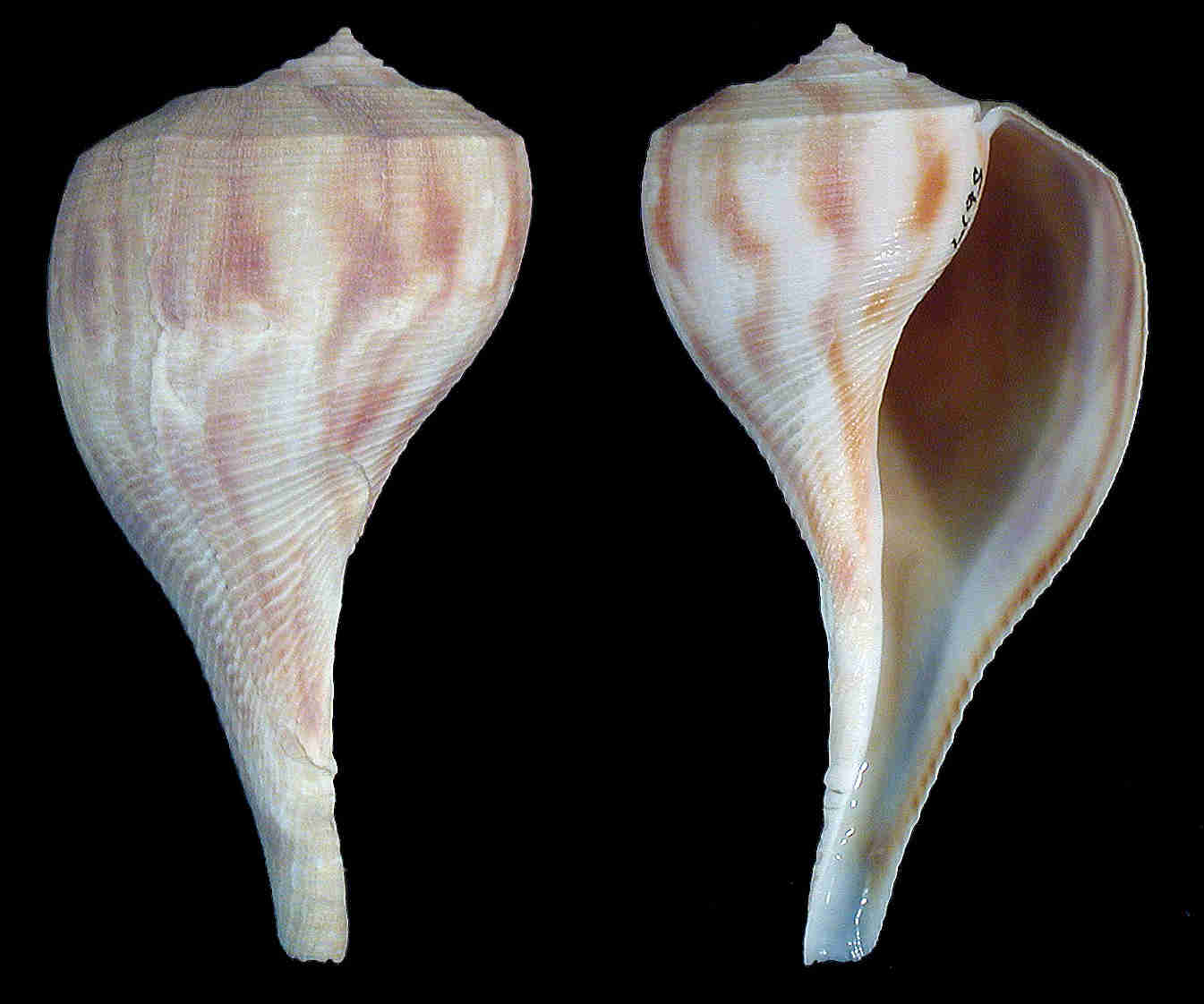 Pear Whelk