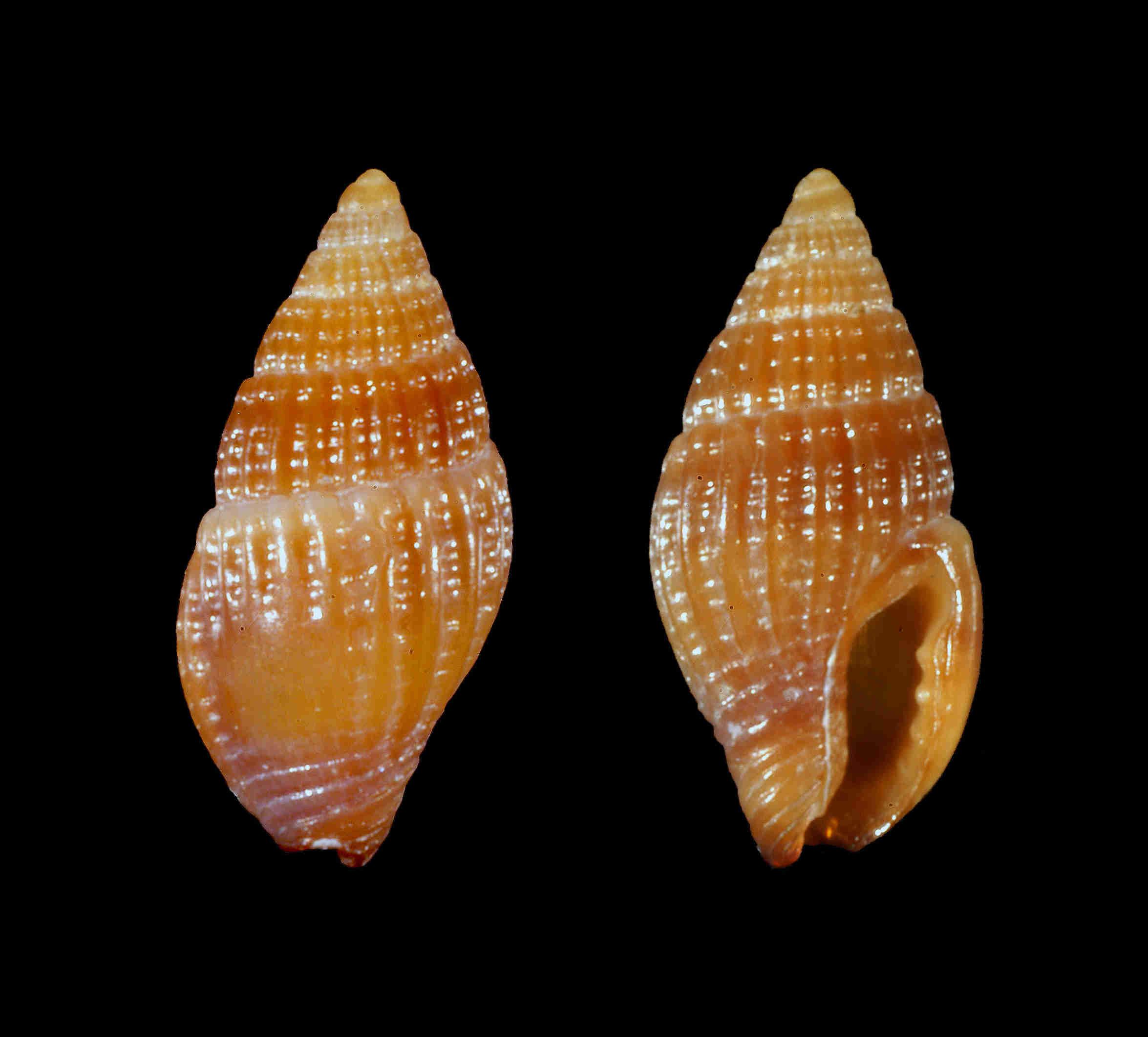 Oyster Dove Snail