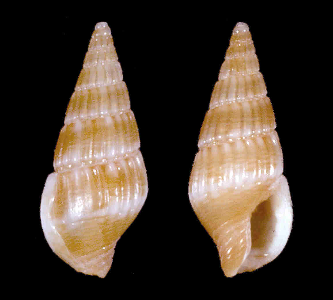 Lineate Dove Snail