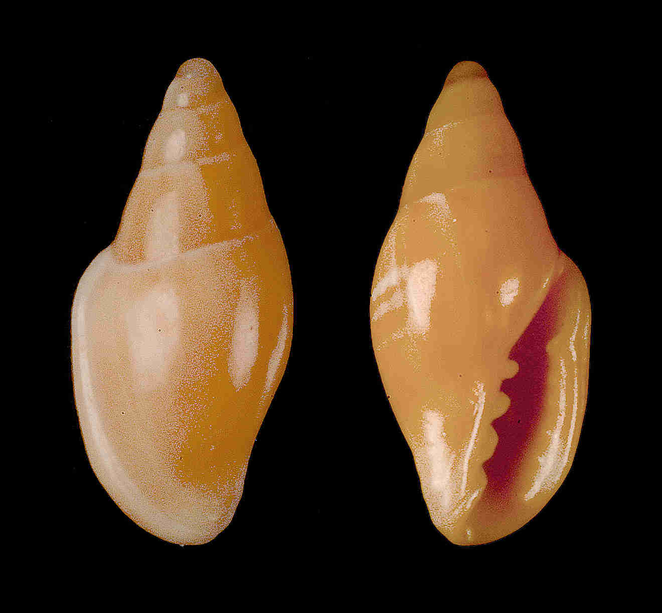 Tan Marginella